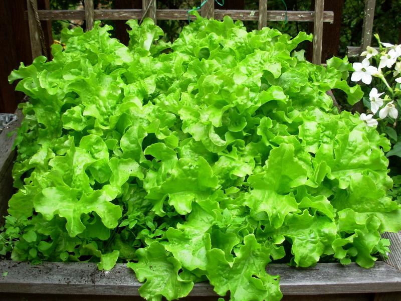 Фото листовых салатов