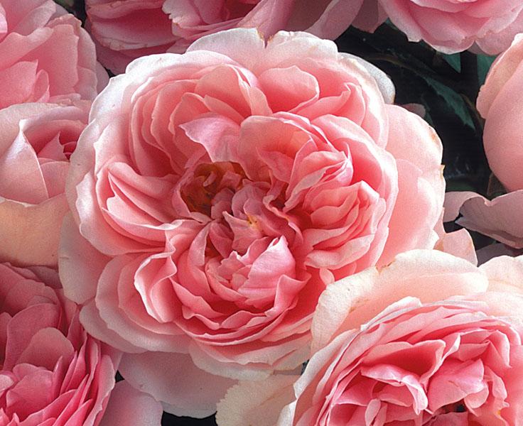 Троянди рожеві