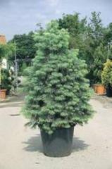 Conifere ornement - abies concolor c230l-200/250