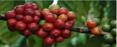 Cafés indonésiens