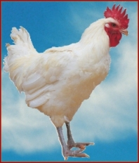 Le poulet de Bresse AOC