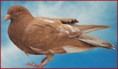 Le pigeonneau Au chapon Bressan
