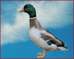 Le canard de l'huppe