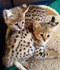 Magnifique chatons savannah et serval.
