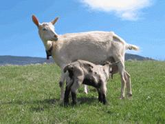 Chèvres laitières